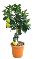 Цитрофортунелла Лимон штамбовая D21 H80
