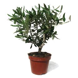 Оливковое дерево D15