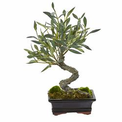 Оливковое дерево бонсай D16