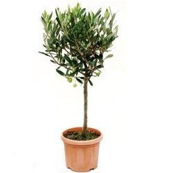 Оливковое дерево штамбовое D19 H85