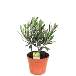 Оливковое дерево штамбовое D12