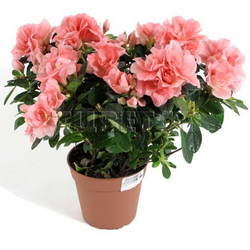 Азалия Индика Розовая D15