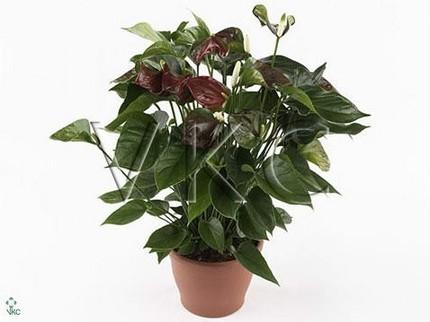Антуриум Андрианум Беби коричневый