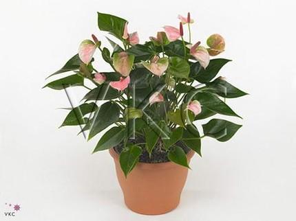 Антуриум Андрианум Ленти розовый
