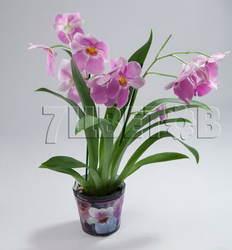 Мильтониопсис розовый 2 ст