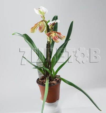 Пафиопедилюм Американский Гибрид 2 цветка