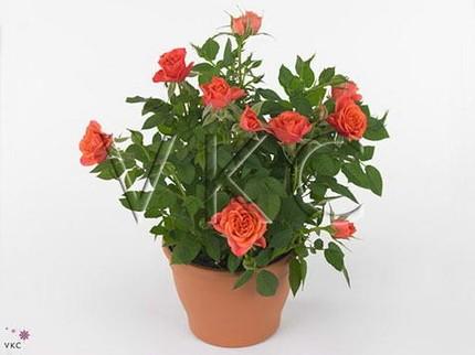 Роза Кордана оранжевая Индиан Джевел