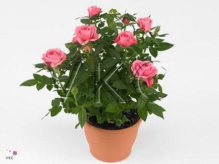 Роза Кордана розовая Спарклинг Джевел