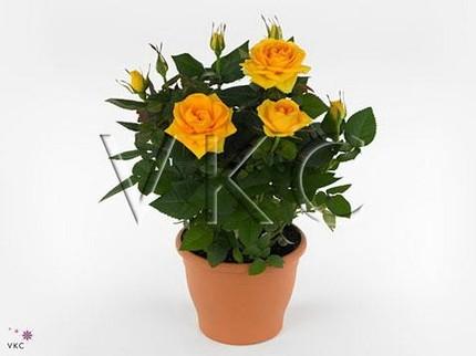 Роза Патио желтая Сильвия