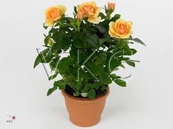 Роза Патио оранжевая Сара