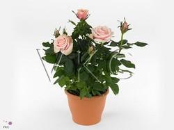Роза Патио розовая Каталина