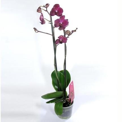 Фаленопсис красный 2 ст