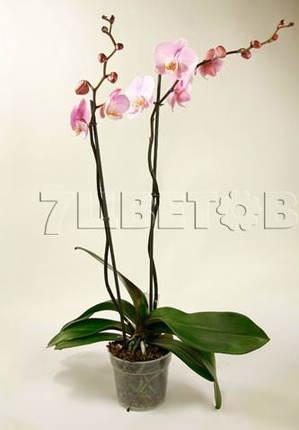 Фаленопсис розовый 2 ст D15