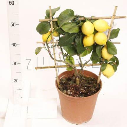 Цитрофортунелла Лимон на решетке D21 H55