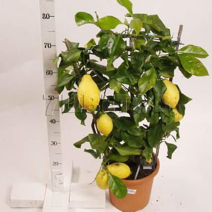 Цитрофортунелла Лимон на решетке D21 H90