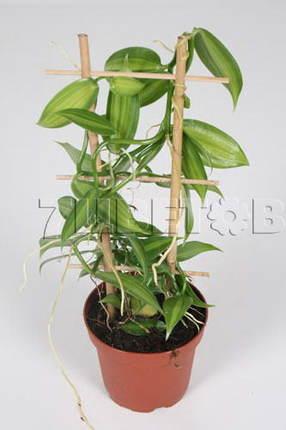 Vanilla planifolia Rek