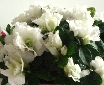 Азалия Индика Белая D12