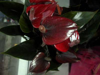Антуриум Андрианум Антедесия шоколадная D15