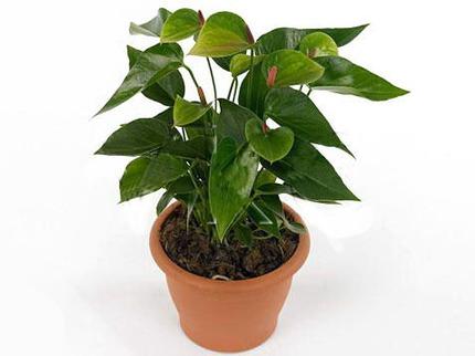 Антуриум Андрианум Беби зеленый
