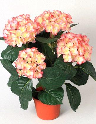 Гидрангея розовая