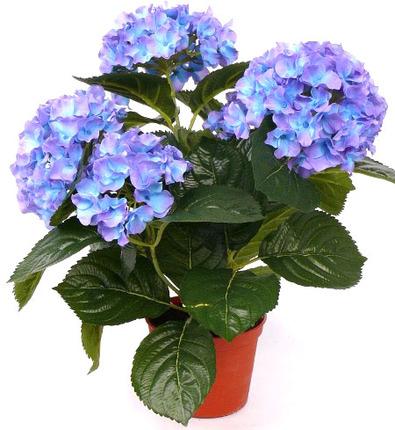 Гидрангея синяя