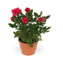 Роза Кордана малиновая Керри