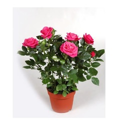Роза Патио малиновая Регина