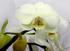 Фаленопсис белый 2 ст D15