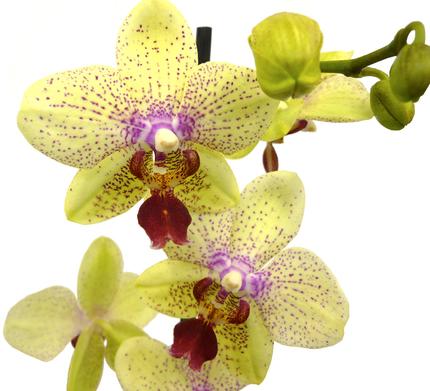 Фаленопсис желтый 2 ст