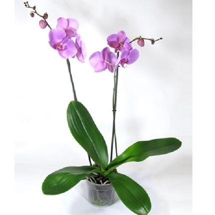 Фаленопсис лиловый 2 ст