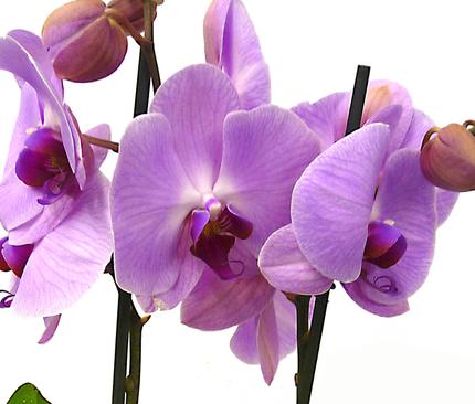 Фаленопсис розовый 2 ст
