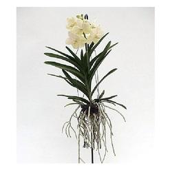 Ванда Белая (подвесная) H60 см