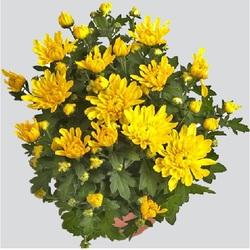 Хризантема Ковингтон желтая D15
