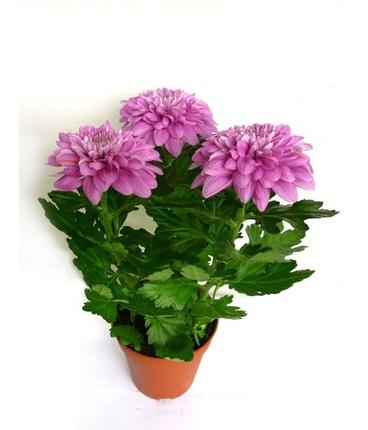Хризантема Зембла пурпурная D12