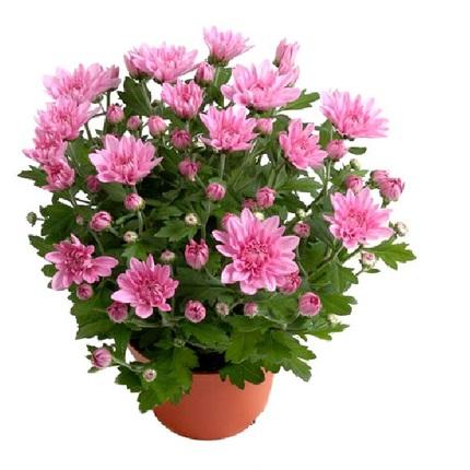 Хризантема Капитола розовая D15