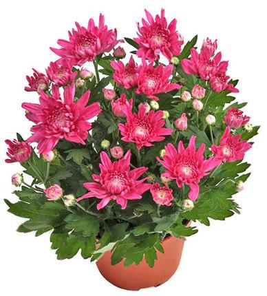 Хризантема Мэйфилд розовая D15