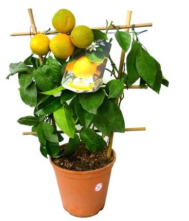 Цитрофортунелла Лимон красный на решетке D21 H60