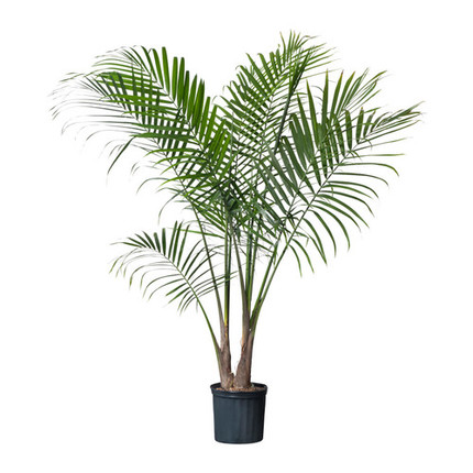 Пальма Равенея D11