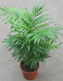 Пальма Хамедорея D17 H50