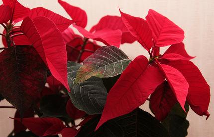 Пуансеттия Рождественское настроение D13