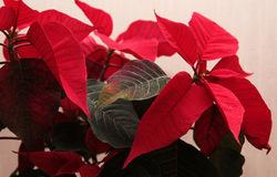 Пуансеттия Рождественское настроение D14