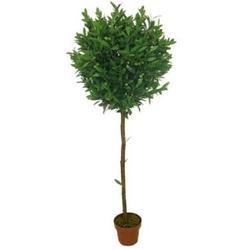Оливковое дерево штамбовое D15 H50