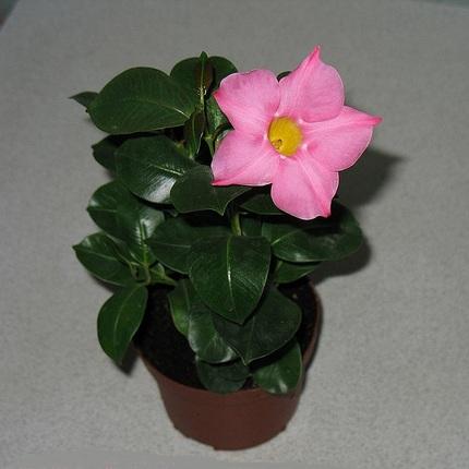 Дипладения розовая D15
