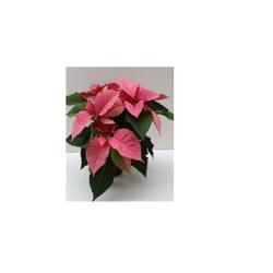 Пуанссетия розовая D12