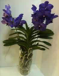 Орхидея Ванда 2 ст