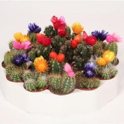 Кактус Микс 19 шт с сухими цветами