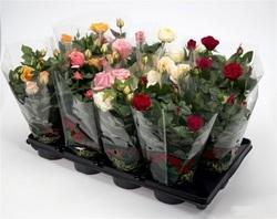 Роза Кордана Турбо красная