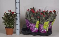 Роза Патио красная