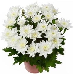 Хризантема кустовая Белая D15