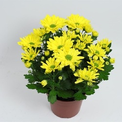 Хризантема кустовая Желтая D15